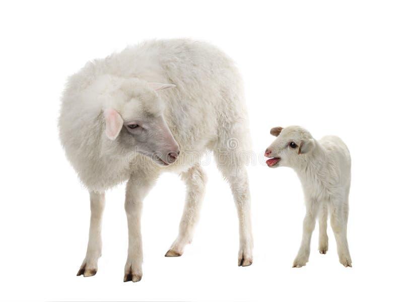 婴孩和绵羊在白色 库存照片