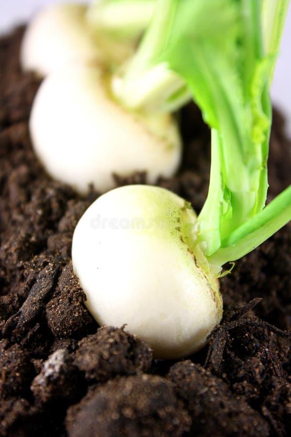 婴孩土壤白萝卜 免版税库存图片