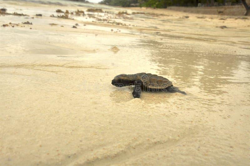 婴孩在海滩途中的海龟向海洋 塞舌尔群岛 库存照片