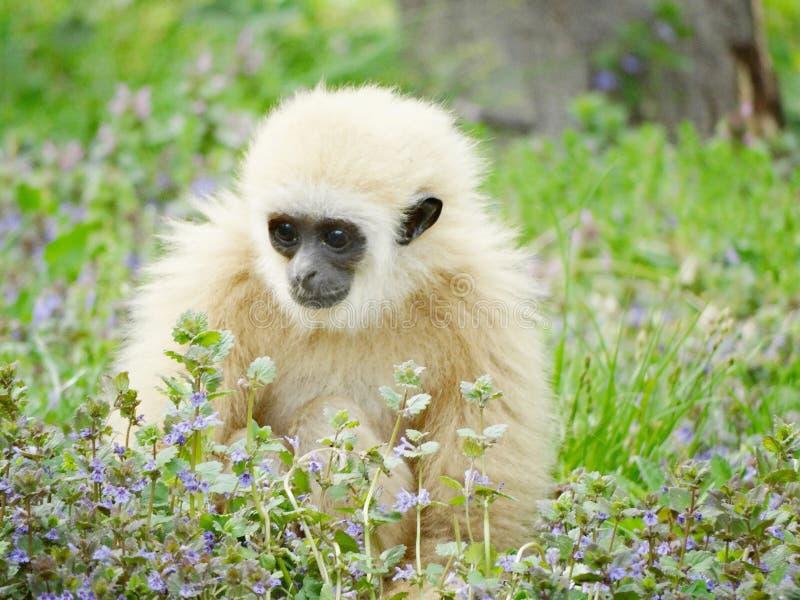 婴孩在草的家神长臂猿 库存照片