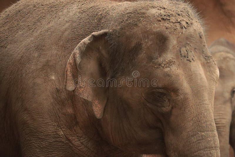 婴孩大象在动物园里,鹿特丹,荷兰 库存图片