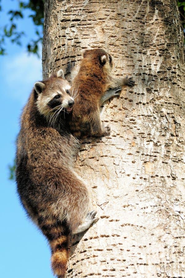 婴孩她的母亲浣熊 免版税库存图片