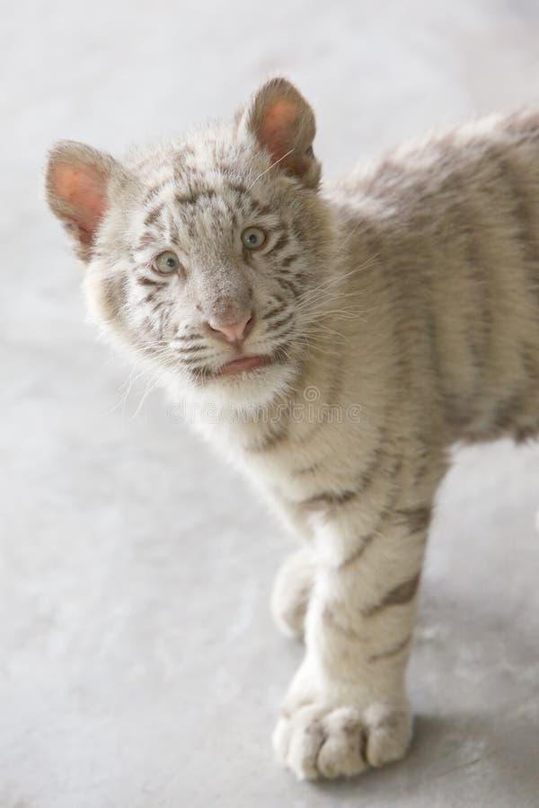 婴孩惊吓了老虎白色 免版税图库摄影