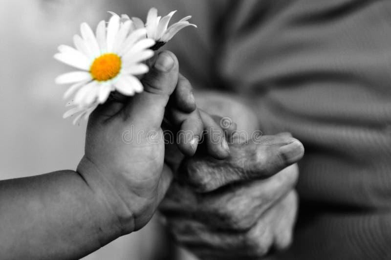 婴孩手在度假给老妇人的春黄菊 北京,中国黑白照片 库存照片