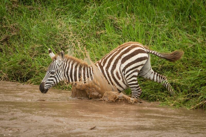 婴孩抱怨斑马跳进泥泞的河 库存图片