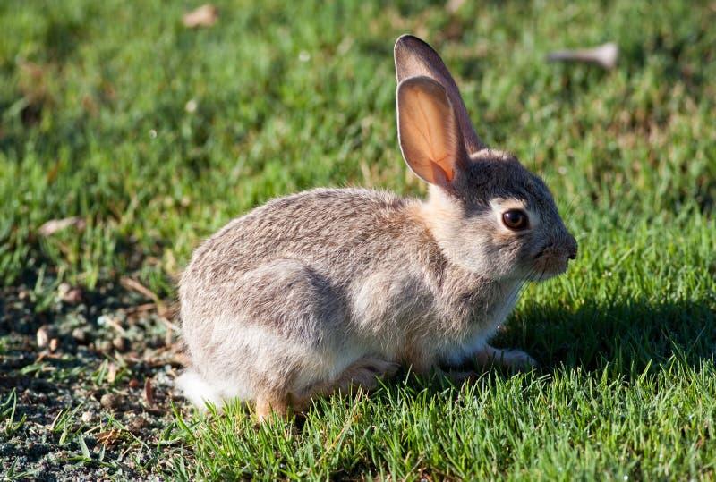 婴孩插孔兔子 库存图片