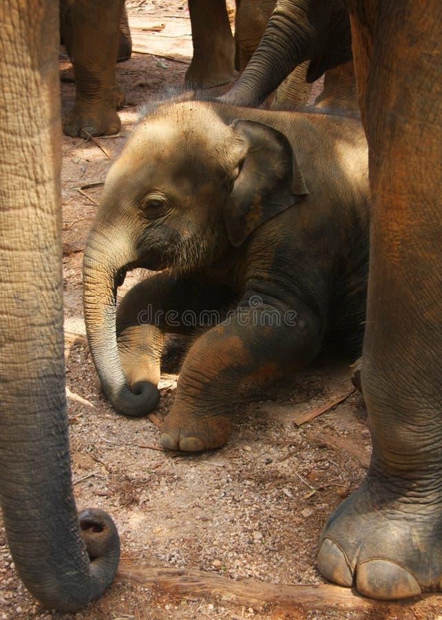 婴孩新出生的小牛的大象 免版税库存照片