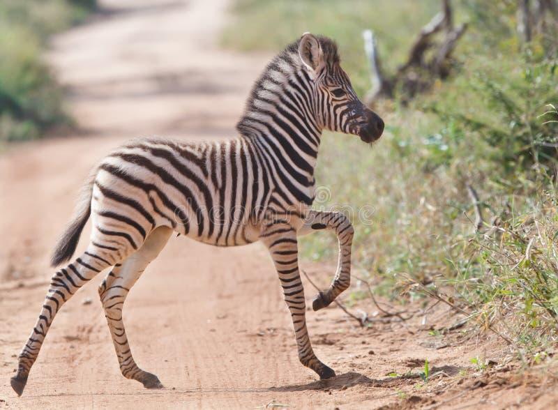 婴孩横穿路斑马 免版税库存照片