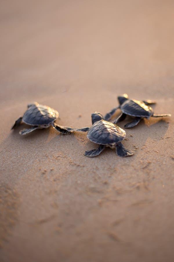 婴孩海龟用通往海的道路 免版税库存照片