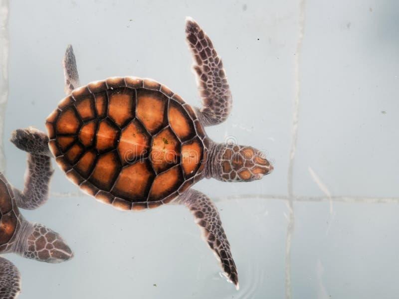 婴孩游泳在托儿所池塘或水族馆的海龟在保护中心 免版税库存照片