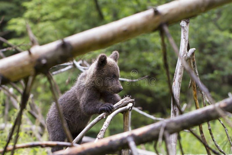 婴孩熊在有下落的树的厚实的森林里 免版税图库摄影