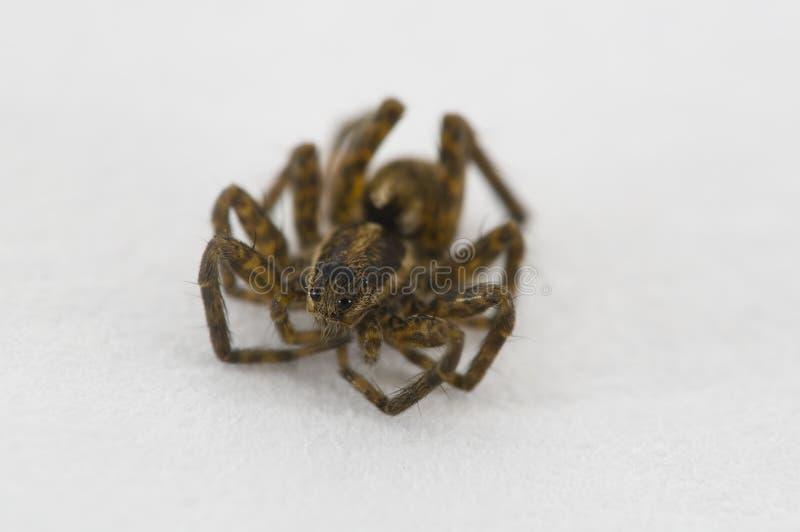 婴孩蜘蛛 免版税库存图片