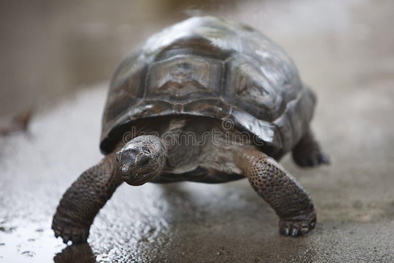 婴孩连续乌龟 免版税库存图片