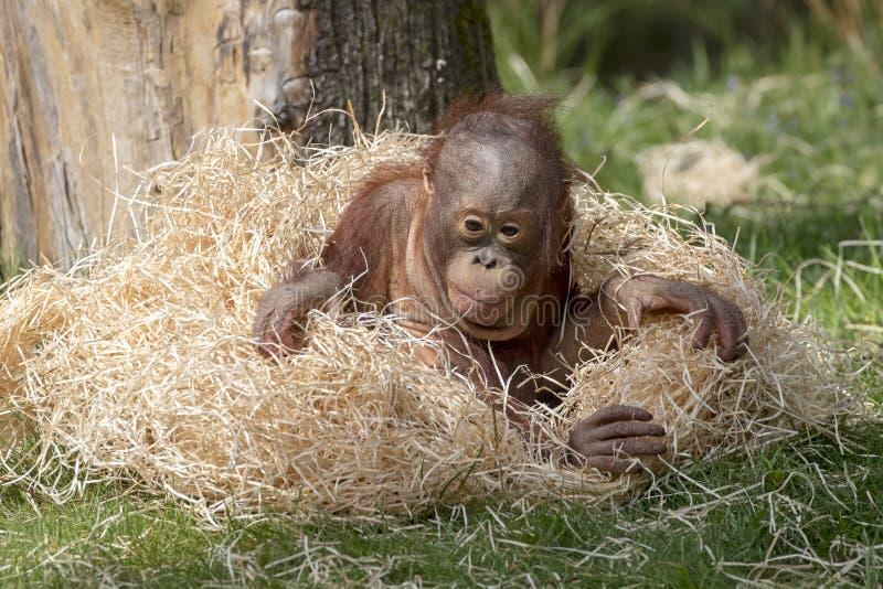 婴孩逗人喜爱的猩猩 图库摄影