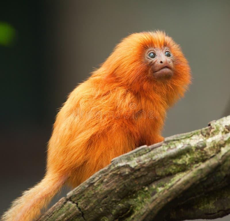 婴孩金黄狮子绢毛猴 库存图片