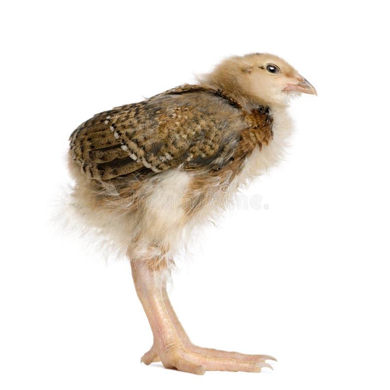婴孩长期鸡腿 免版税库存照片