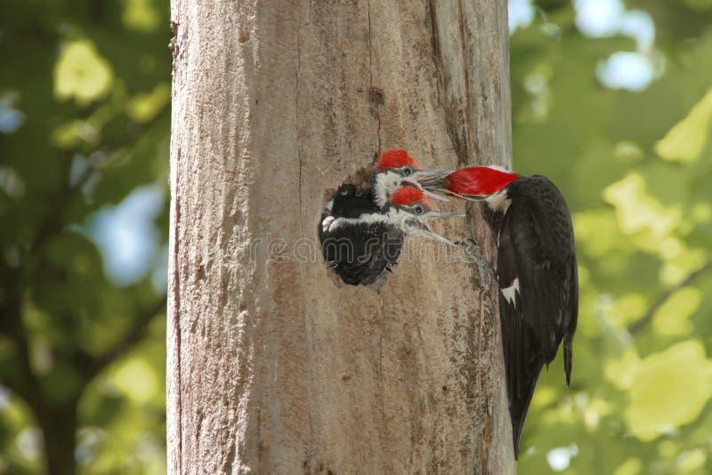 婴孩饥饿的啄木鸟