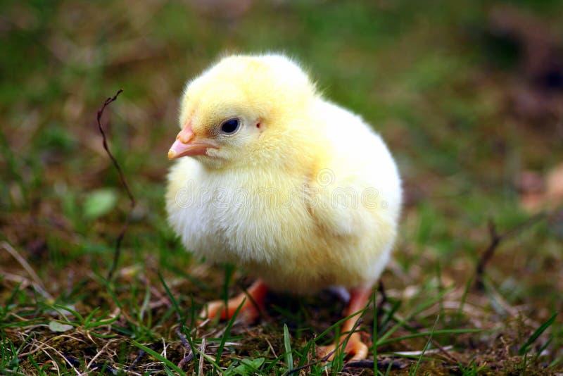 婴孩鸡表面 库存照片