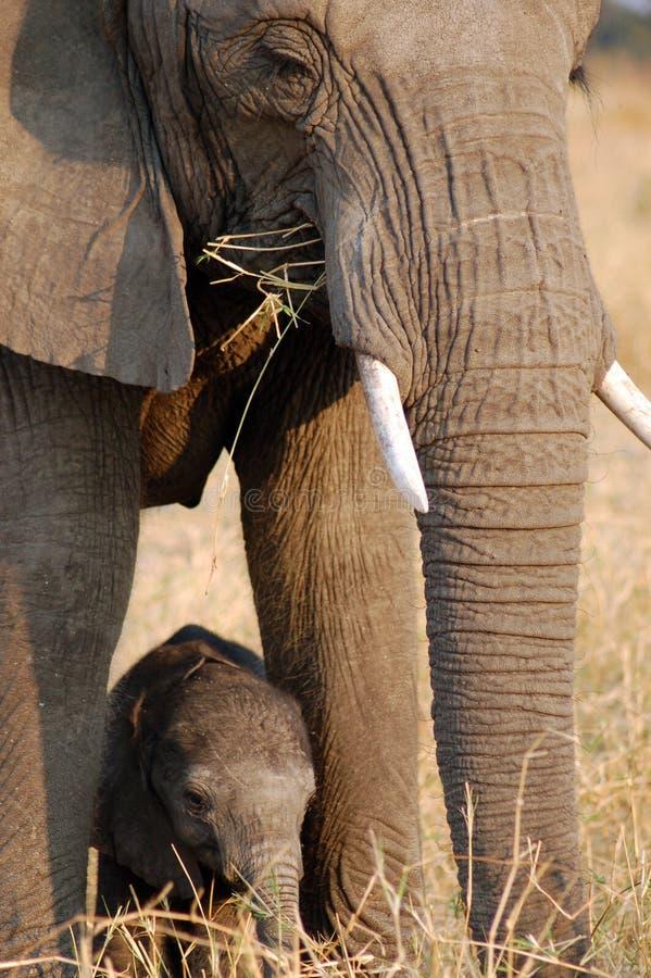婴孩chaminuka大象 库存照片
