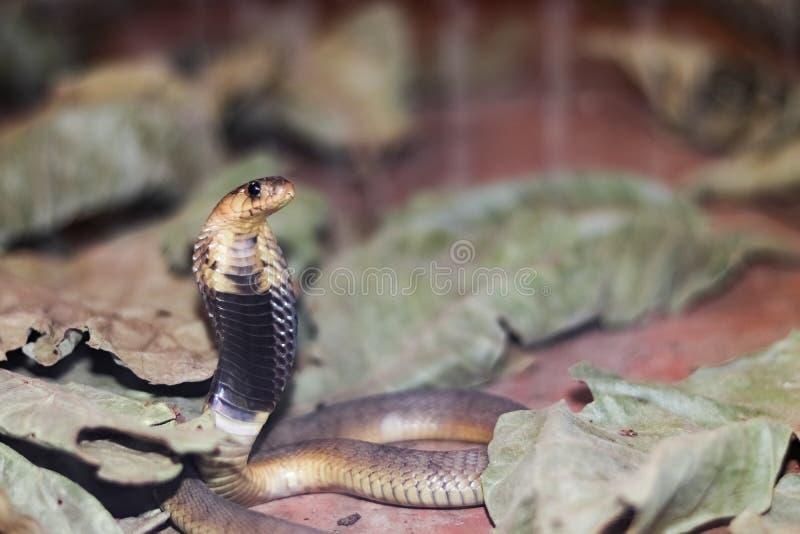 婴孩Egyption眼镜蛇 免版税库存图片
