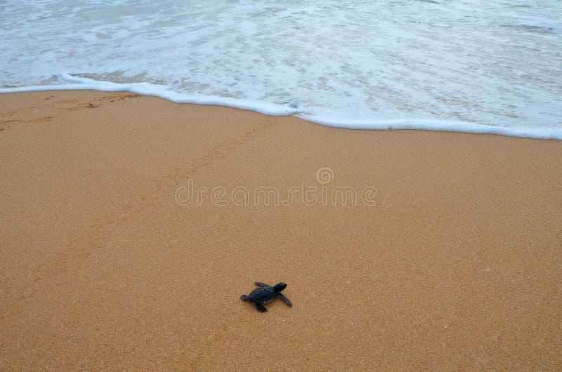 婴孩turtlecreeps到海洋里 免版税库存图片