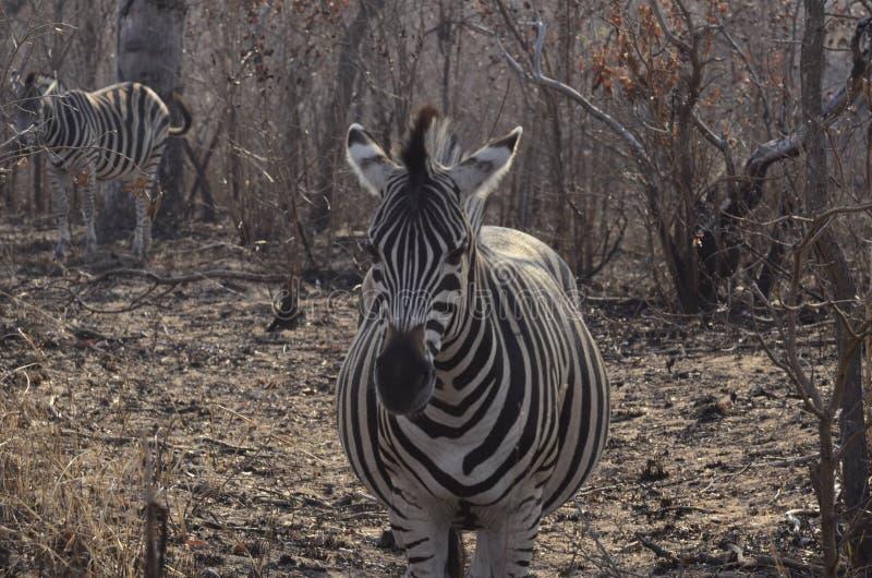 婴孩Zebra妈妈等待的诞生  免版税图库摄影