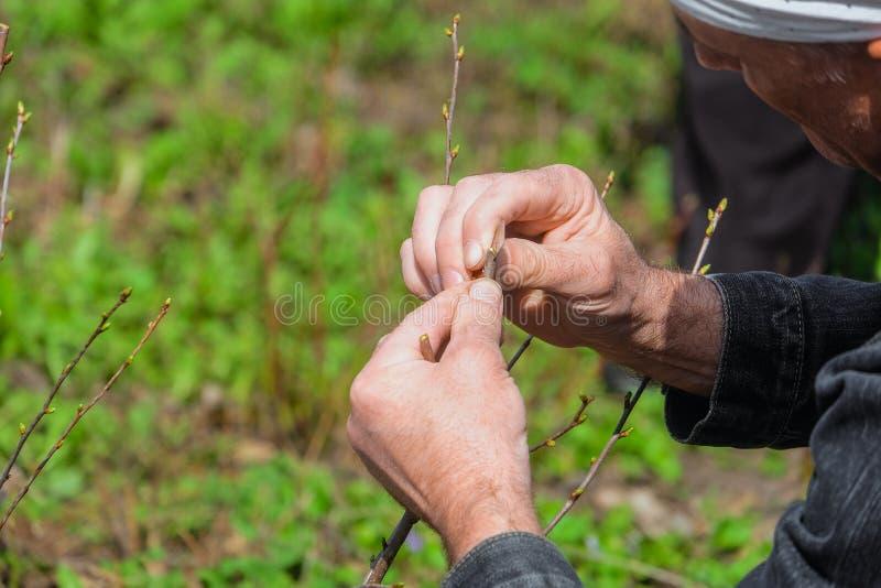 嫁接果树分支的花匠 免版税库存照片