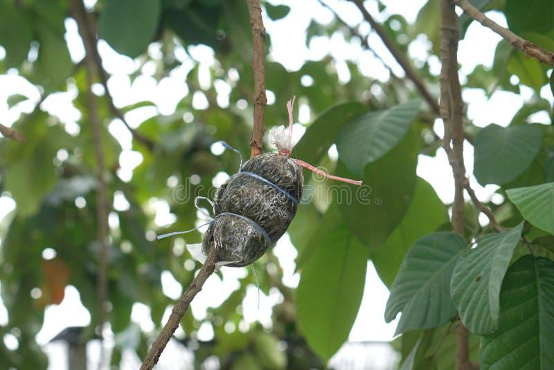 嫁接植物的地方泰国农业学家 库存照片