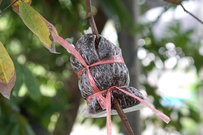 嫁接植物的地方泰国农业学家 库存图片
