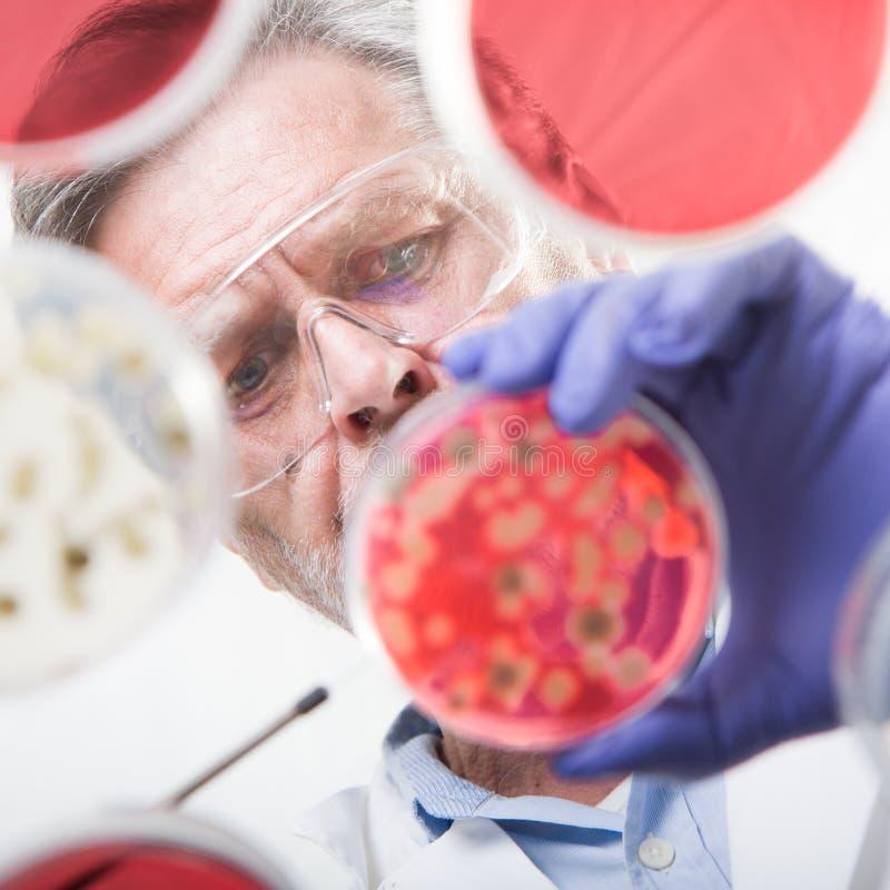 嫁接细菌的资深生命科学研究员 图库摄影
