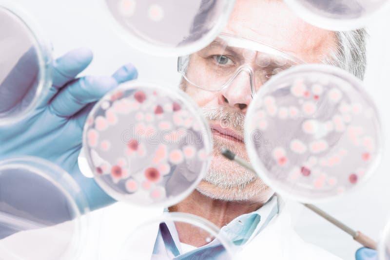 嫁接细菌的资深生命科学研究员 库存照片