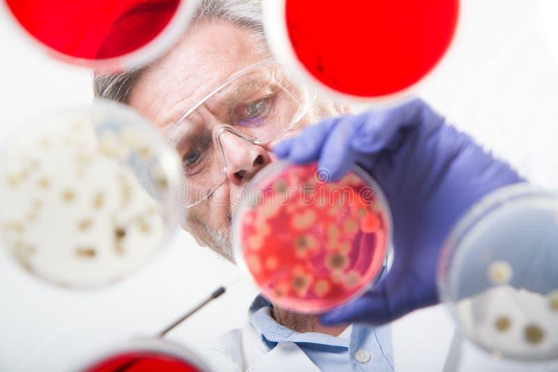 嫁接细菌的资深生命科学研究员 免版税图库摄影
