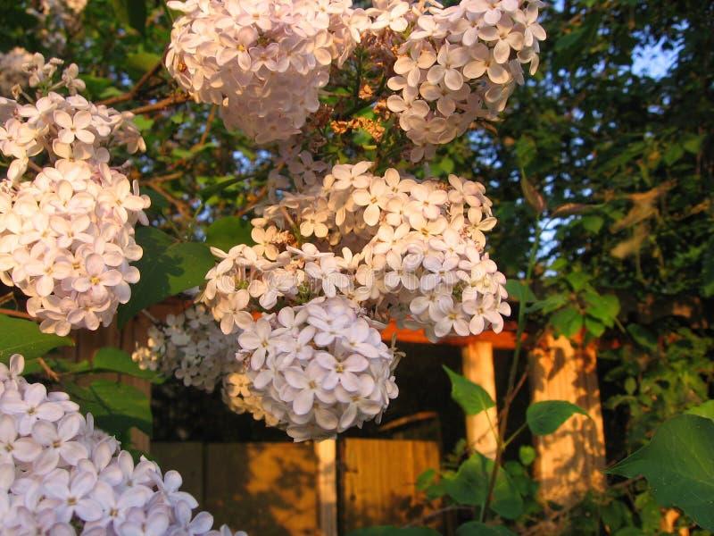 嫩丁香开花的芬芳花在庭院里在春天 免版税库存图片