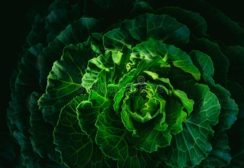 嫩卷心菜纹理在一个有机农场 库存图片