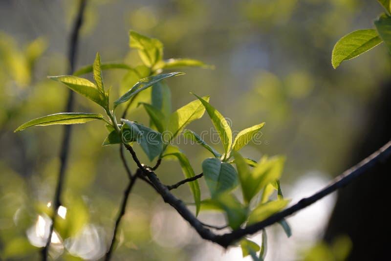嫩叶子在春天树美妙地开花 库存图片