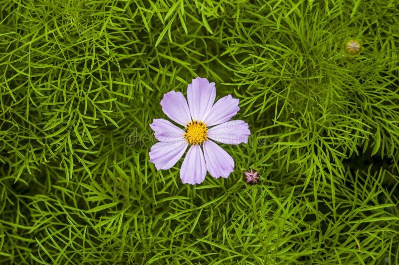 嫩淡紫色Kosmeya 库存照片