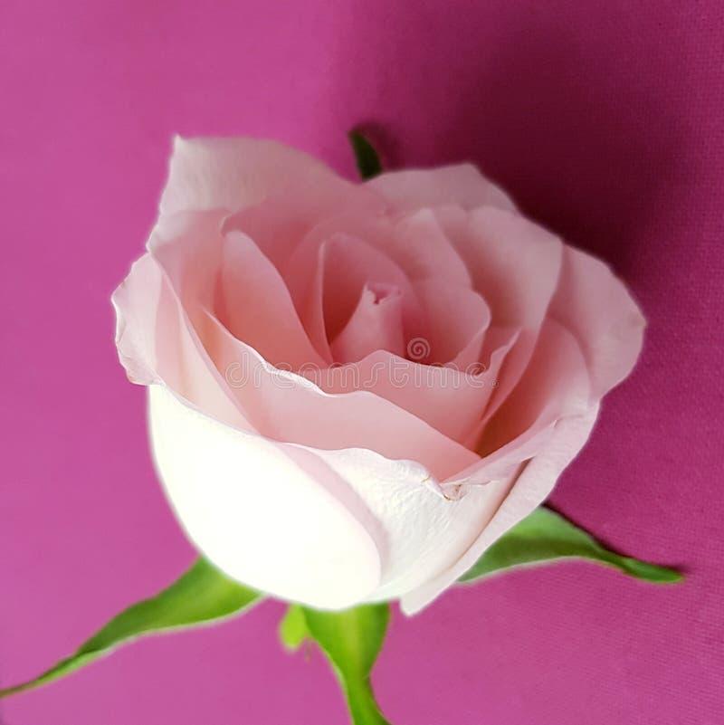 嫩玫瑰特写镜头  背景粉红色上升了 美丽的软的花 库存照片