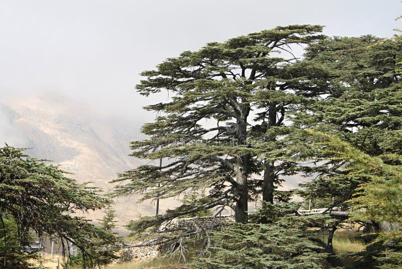 黎巴嫩的雪松森林 库存图片