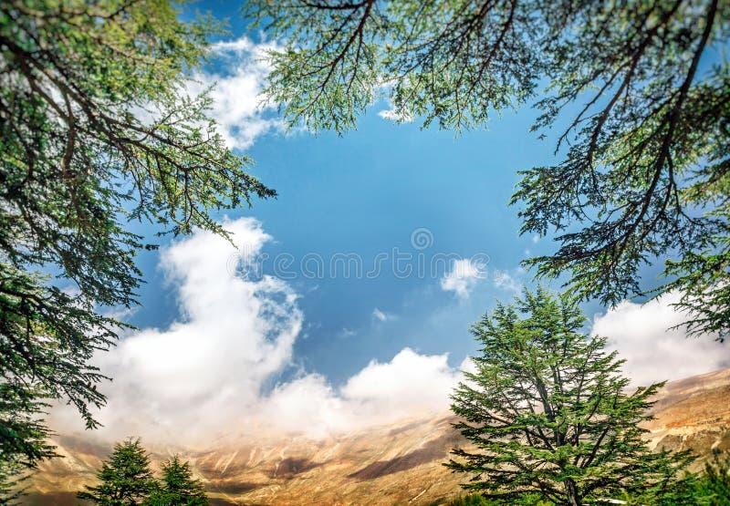 黎巴嫩雪松 免版税库存照片