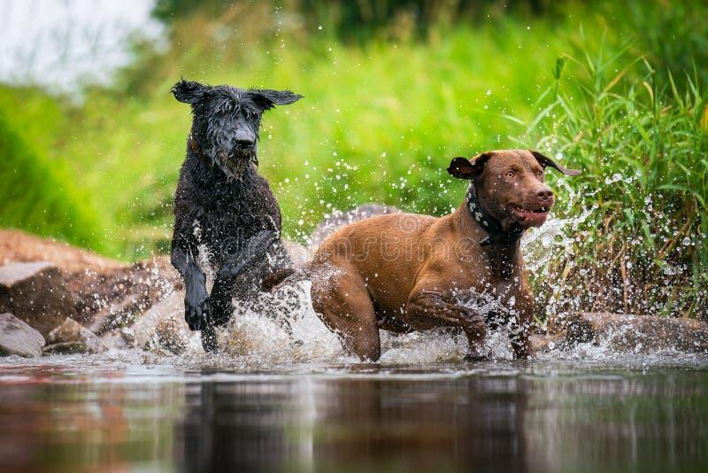 嬉戏在水中的两条狗 免版税库存图片