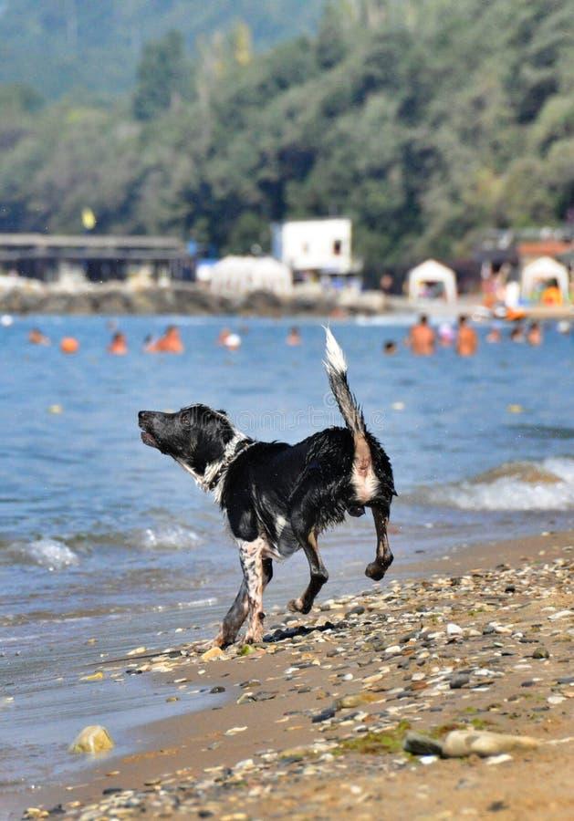 嬉戏在海滩的黑白狗 免版税库存图片
