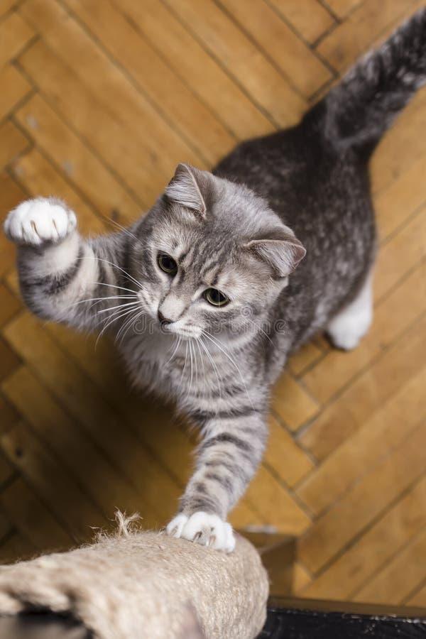 嬉戏地削尖他在木粱的逗人喜爱的猫锋利的爪包裹在绳索 图库摄影