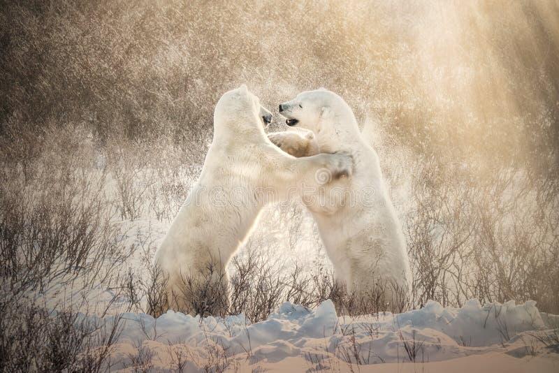 嬉戏地战斗在美好的金黄光的北极熊 库存照片