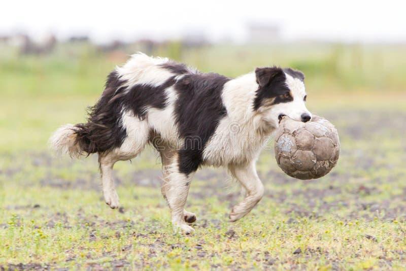 嬉戏的博德牧羊犬 免版税库存图片