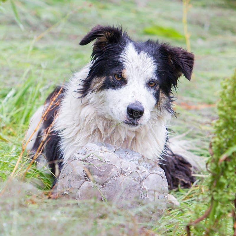 嬉戏的博德牧羊犬 免版税库存照片