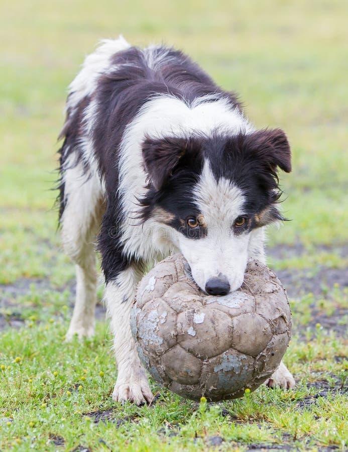 嬉戏的博德牧羊犬 库存图片