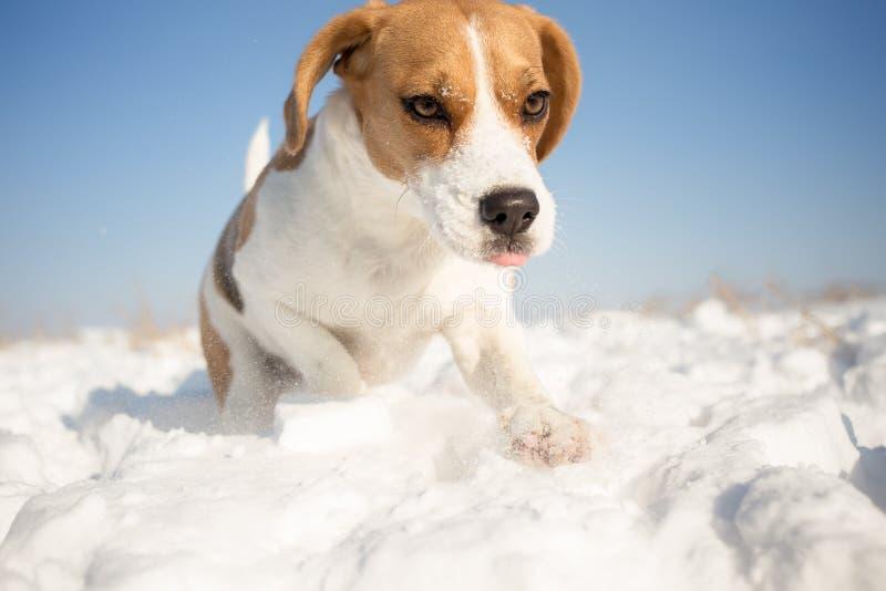 嬉戏的小猎犬狗 库存照片