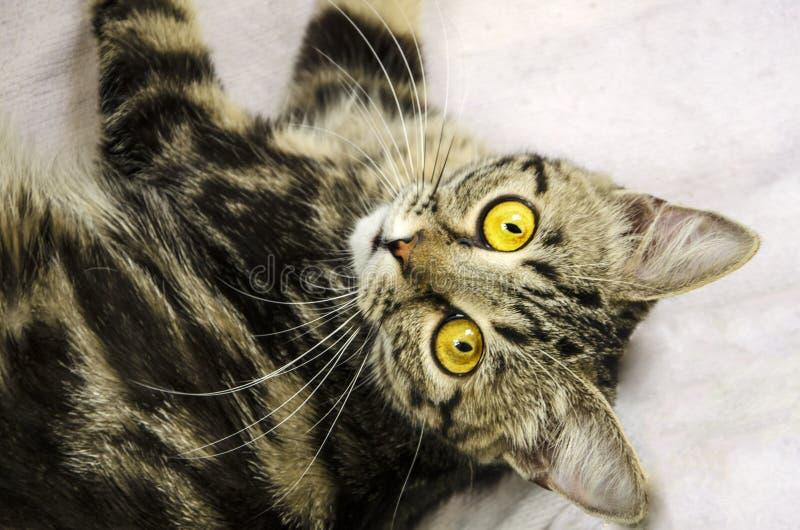 嬉戏的小猫 一只小猫带着贯穿的凝视 库存图片