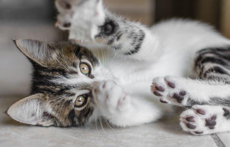 嬉戏的小猫 免版税库存照片