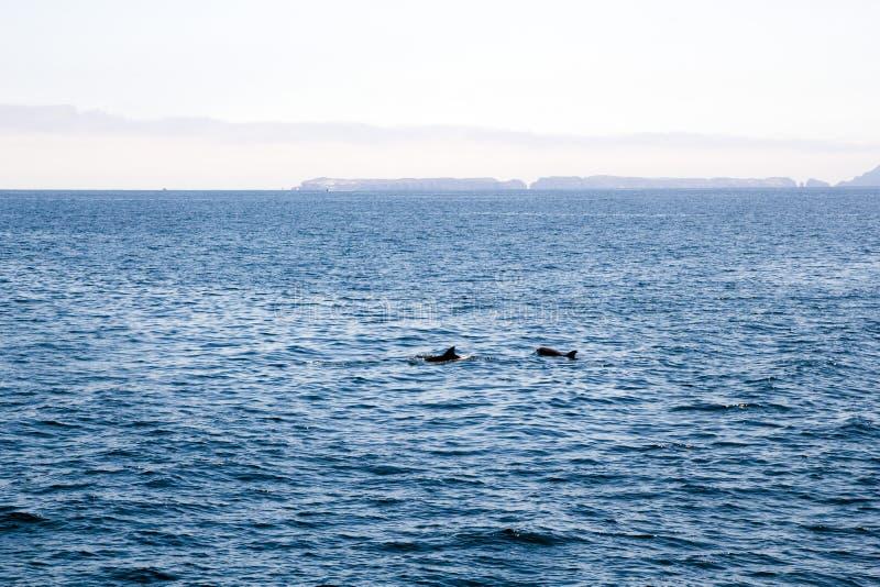 嬉戏的海豚临近Channel岛,加利福尼亚 库存照片